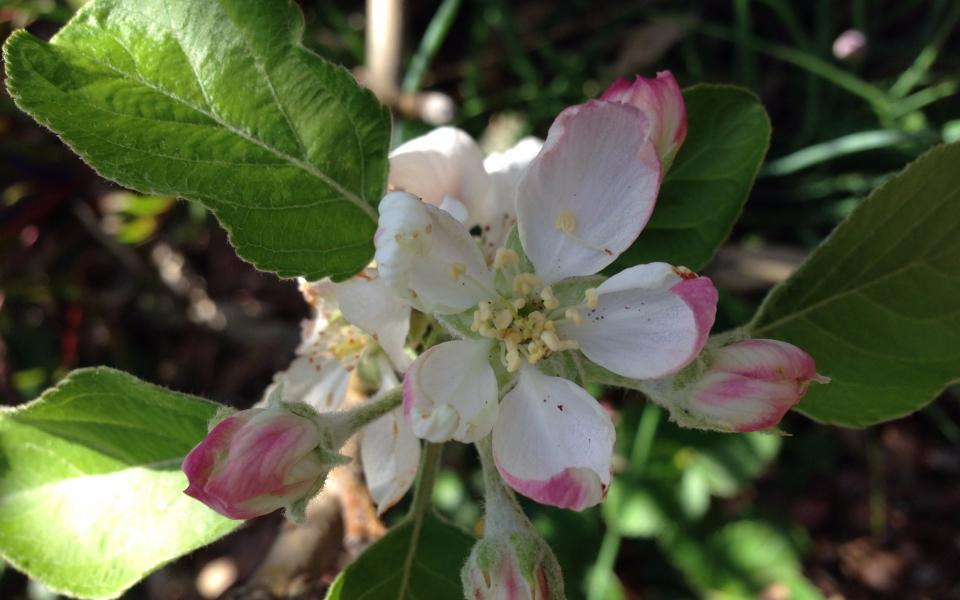 Apple Blossom Love