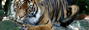 Sumatran Tiger_hdr